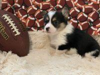 Pembroke Welsh Corgi Puppies for sale in Brooksville, FL 34601, USA. price: NA