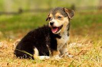 Pembroke Welsh Corgi Puppies for sale in Augusta, GA 30909, USA. price: NA