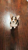 Pembroke Welsh Corgi Puppies for sale in San Jose, CA, USA. price: NA