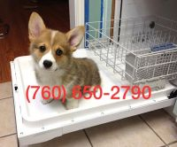 Pembroke Welsh Corgi Puppies for sale in Houston, TX, USA. price: NA