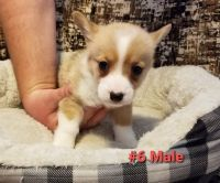 Pembroke Welsh Corgi Puppies for sale in Springfield, MO, USA. price: NA