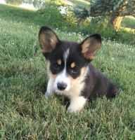 Pembroke Welsh Corgi Puppies for sale in Knoxville, TN, USA. price: NA