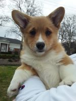 Pembroke Welsh Corgi Puppies for sale in Lititz, PA 17543, USA. price: NA