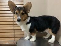 Pembroke Welsh Corgi Puppies for sale in 5218 NW 185th Terrace, Miami Gardens, FL 33055, USA. price: NA