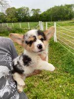 Pembroke Welsh Corgi Puppies for sale in Orlando, FL, USA. price: NA