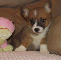 Pembroke Welsh Corgi Puppies for sale in Orange, CA, USA. price: NA