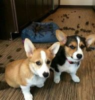 Pembroke Welsh Corgi Puppies for sale in St. Petersburg, FL, USA. price: NA