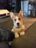 Pembroke Welsh Corgi Puppies for sale in Butler, IN 46721, USA. price: NA