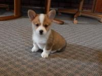 Pembroke Welsh Corgi Puppies for sale in Jackson, MS, USA. price: NA