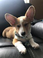 Pembroke Welsh Corgi Puppies for sale in Brick Township, NJ, USA. price: NA
