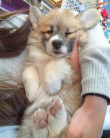 Pembroke Welsh Corgi Puppies for sale in Coarsegold, CA 93614, USA. price: NA