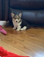 Pembroke Welsh Corgi Puppies for sale in Los Angeles, CA 90001, USA. price: NA