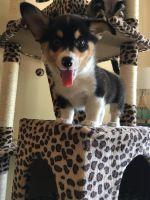 Pembroke Welsh Corgi Puppies for sale in Maricopa, CA 93252, USA. price: NA