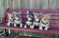 Pembroke Welsh Corgi Puppies for sale in Atlanta, GA, USA. price: NA