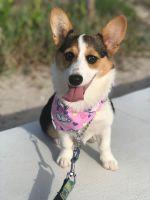 Pembroke Welsh Corgi Puppies for sale in Pompano Beach, FL, USA. price: NA