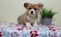 Pembroke Welsh Corgi Puppies for sale in Los Angeles, CA, USA. price: NA