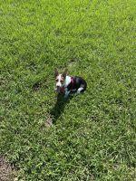 Pembroke Welsh Corgi Puppies for sale in Tampa, FL, USA. price: NA