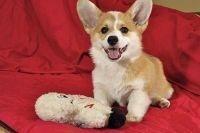 Pembroke Welsh Corgi Puppies for sale in Dallas, TX, USA. price: NA