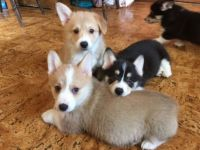 Pembroke Welsh Corgi Puppies for sale in Morristown, TN 37814, USA. price: NA