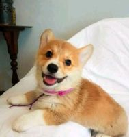 Pembroke Welsh Corgi Puppies for sale in Bland, MO 65014, USA. price: NA