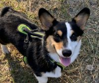 Pembroke Welsh Corgi Puppies for sale in Willow Park, TX, USA. price: NA