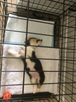 Pembroke Welsh Corgi Puppies for sale in Homestead, FL 33033, USA. price: NA