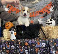 Pembroke Welsh Corgi Puppies for sale in Rowlett, TX, USA. price: NA