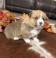 Pembroke Welsh Corgi Puppies for sale in Genoa, NE 68640, USA. price: NA