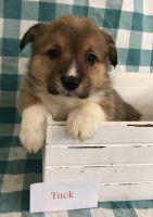 Pembroke Welsh Corgi Puppies for sale in Memphis, MO 63555, USA. price: NA