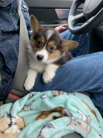 Pembroke Welsh Corgi Puppies for sale in Columbus, OH, USA. price: NA