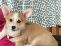 Pembroke Welsh Corgi Puppies for sale in Milwaukee, WI, USA. price: NA