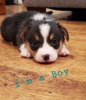 Pembroke Welsh Corgi Puppies for sale in Baytown, TX 77521, USA. price: NA