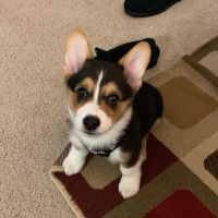 Pembroke Welsh Corgi Puppies for sale in Fresno, CA, USA. price: NA