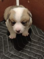 Pembroke Welsh Corgi Puppies for sale in Madera, CA, USA. price: NA