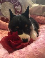 Pembroke Welsh Corgi Puppies for sale in 12556 E Miller Rd, Bicknell, IN 47512, USA. price: NA