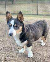 Pembroke Welsh Corgi Puppies for sale in San Antonio, TX 78251, USA. price: NA