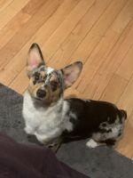 Pembroke Welsh Corgi Puppies for sale in Bridgewater Township, NJ 08807, USA. price: NA