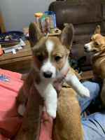 Pembroke Welsh Corgi Puppies for sale in Jacksonville, FL, USA. price: NA