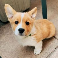 Pembroke Welsh Corgi Puppies for sale in Albany, NY, USA. price: NA