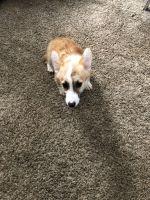 Pembroke Welsh Corgi Puppies for sale in Wichita, KS 67211, USA. price: NA