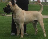 Perro de Presa Canario Puppies for sale in St. Louis, MO, USA. price: NA