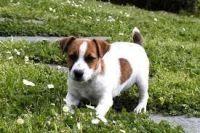 Perro de Presa Canario Puppies for sale in Beaver Creek, CO 81620, USA. price: NA