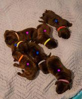 Perro de Presa Canario Puppies for sale in Pocahontas, IL 62275, USA. price: NA