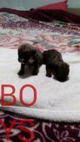 Perro de Presa Canario Puppies for sale in Orlando, FL, USA. price: NA