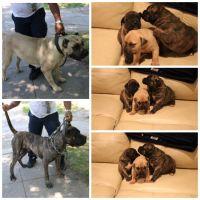 Perro de Presa Canario Puppies for sale in New Haven, CT, USA. price: NA
