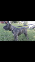 Perro de Presa Canario Puppies for sale in Farmville, VA 23901, USA. price: NA