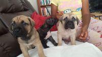 Perro de Presa Canario Puppies for sale in Burnham, IL, USA. price: NA