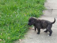 Perro de Presa Canario Puppies for sale in Covington, GA, USA. price: NA