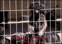 Perro de Presa Canario Puppies for sale in Phoenix, AZ, USA. price: NA