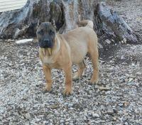 Perro de Presa Canario Puppies for sale in Berryton, KS 66409, USA. price: NA